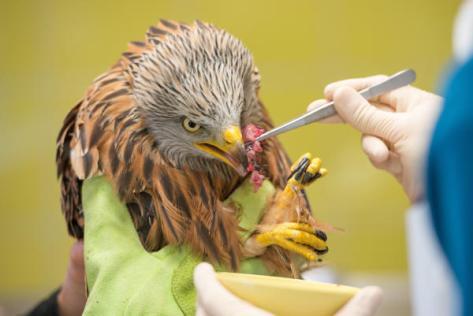 Weil sich der Greifvogel weigert, selbstständig zu fressen, wird er täglich viermal mit einer Pinzette gefüttert.