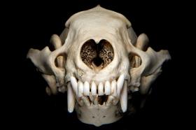 Schädel mit Gebiss vom Dachs - Foto: canis.rufus Flickr