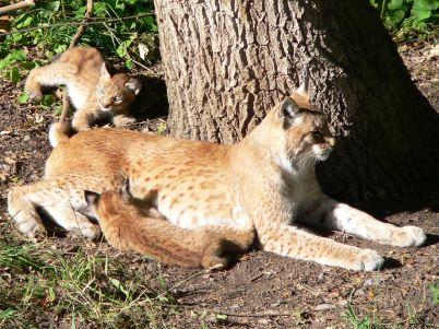 Luchsmutter mit Jungtiere