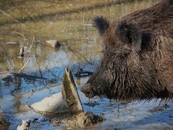 Schlammsuhlendes Wildschwein
