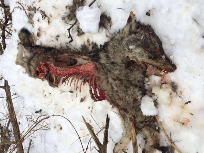 Wolfskadaver-Graubünden