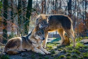 Tierportrait Wolf