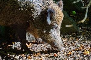 Tierportrait Wildschwein