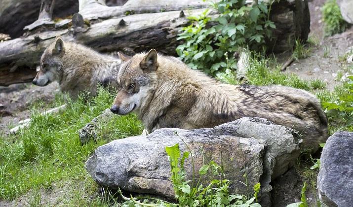 Wolfsrudel sind gut für den Wald